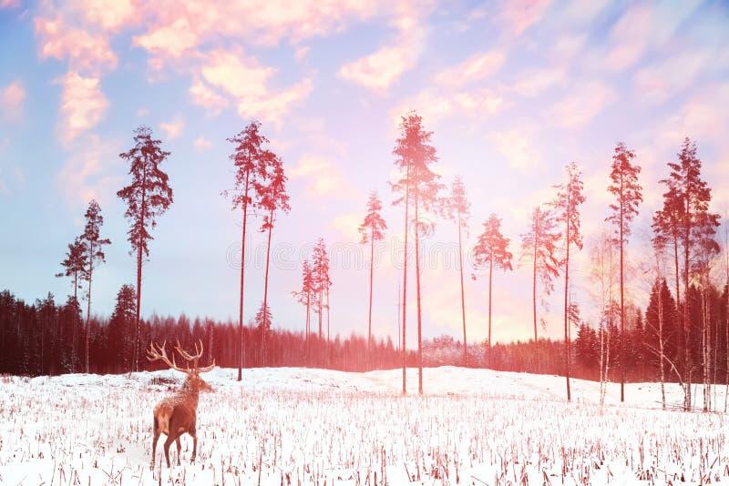 Ensam nobel hjortpost med stora horn mot felik skog för vinter på solnedgången arkivbilder