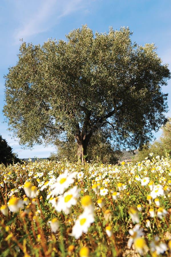 ensam olive tree royaltyfria bilder