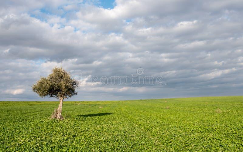 Ensam olivträd i en grässlätt royaltyfri foto