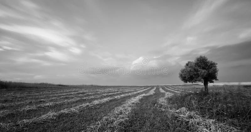 Ensam olivträd i ett grönt fält royaltyfri bild