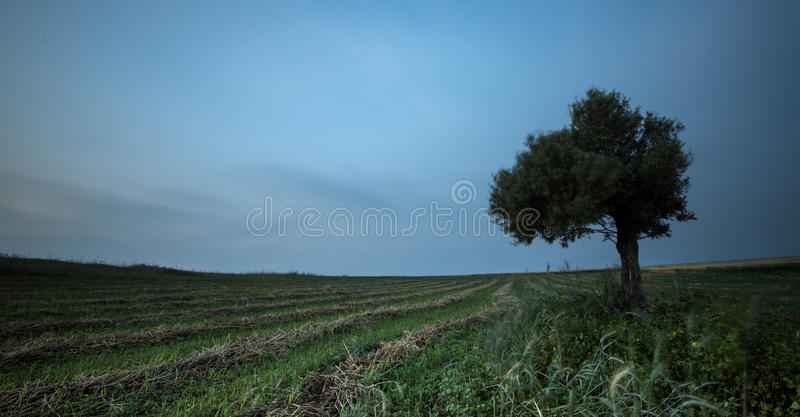 Ensam olivträd i ett grönt fält royaltyfri fotografi