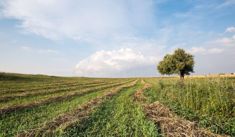 Ensam olivträd i fältet fotografering för bildbyråer