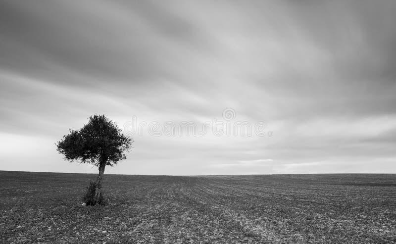 Ensam olivträd med flyttningmoln royaltyfri fotografi