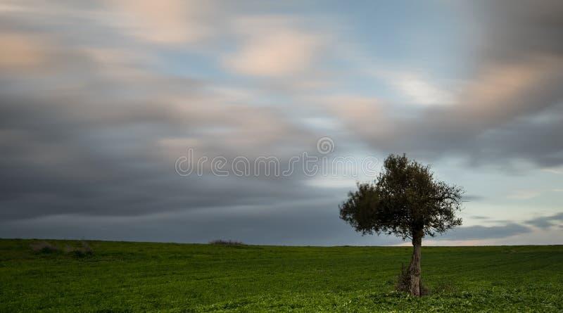 Ensam olivträd med flyttningmoln arkivbilder