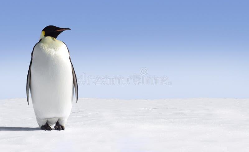 ensam pingvin royaltyfria foton