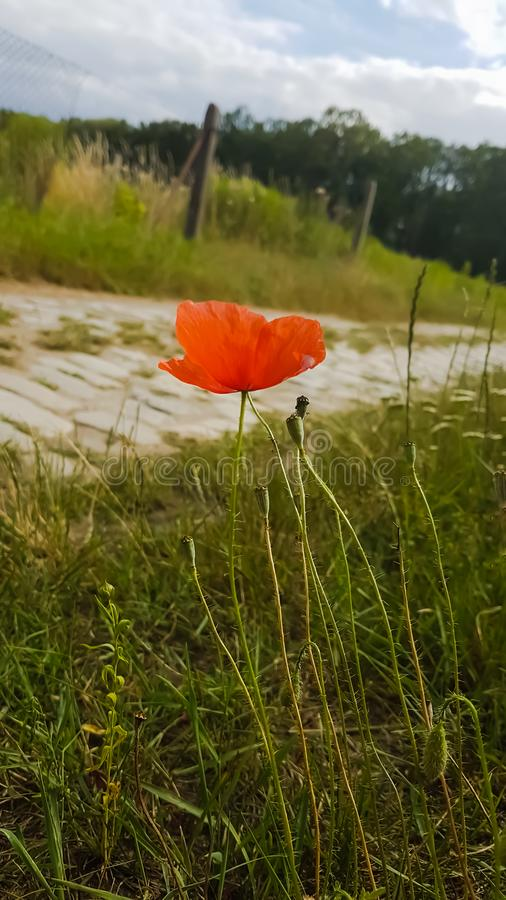 Ensam röd vallmo nära en lantlig väg royaltyfria foton
