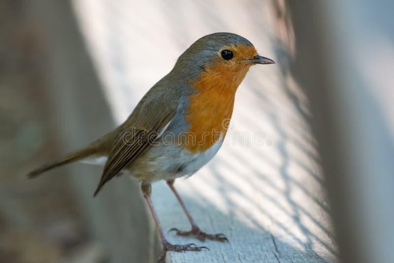 Ensam rödhakefågel & x28; Erithacusrubecula& x29; att stå på trägolvet i parkerar royaltyfri fotografi