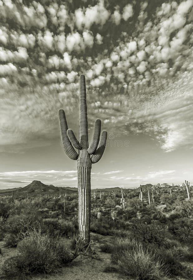Ensam Saguarokaktus i Phoenix AZ område arkivbild