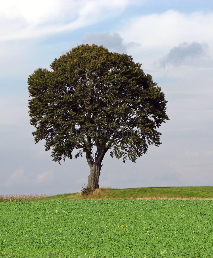 ensam tree 2 arkivfoton