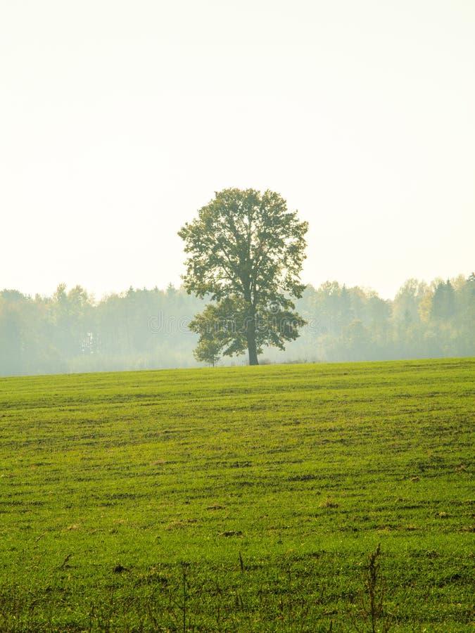 ensam tree för dimma royaltyfria bilder