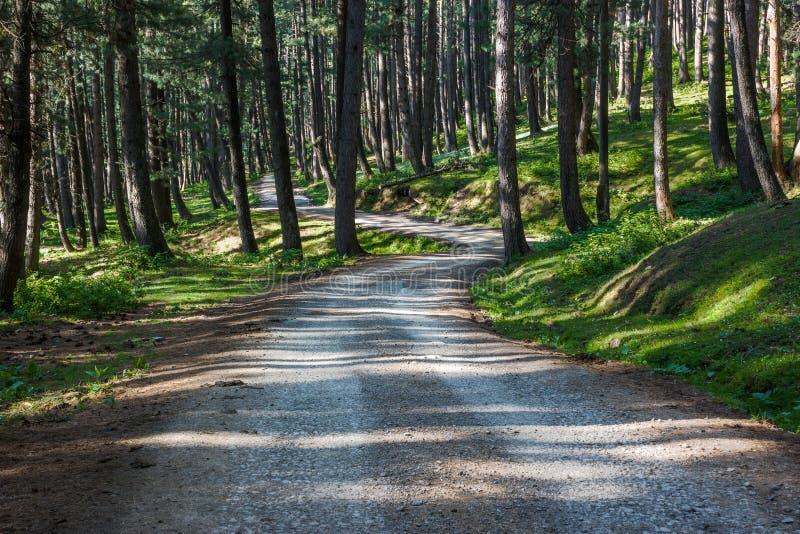 Ensam väg till och med tät pinjeskog arkivbild