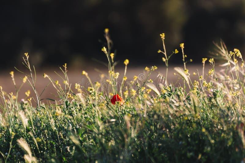 Ensam vallmo som står ut i de lösa blommorna på en guld- solnedgång i bakgrunden Typisk vår och sommarbakgrund royaltyfria foton