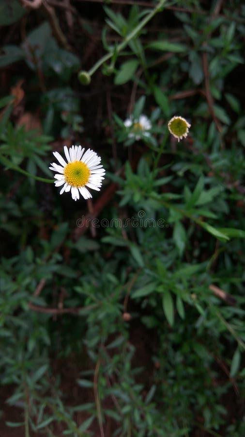 Ensam vit blomma arkivfoton