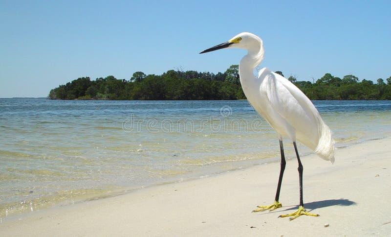 Ensam vit häger på den sandiga Florida stranden arkivbild