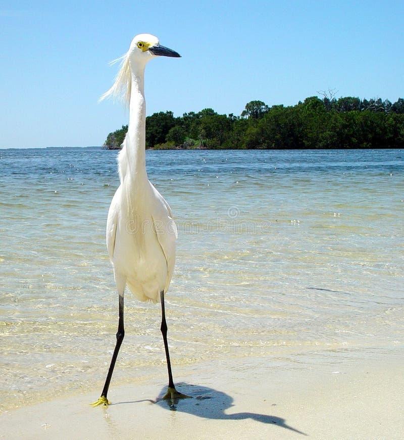 Ensam vit häger på sandig Florida strand -2 royaltyfri foto