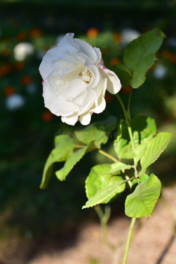Ensam vitroscloseup med stammen och sidor Stulen rosebush Vit- och apelsinblommabakgrund, gröna sidor, solljus royaltyfria foton