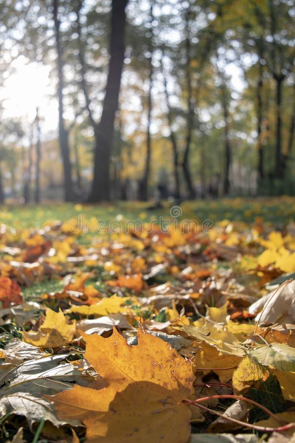 Ensamhetbegrepp - selektiv fokus för Autumn Fall Maple blad royaltyfri fotografi