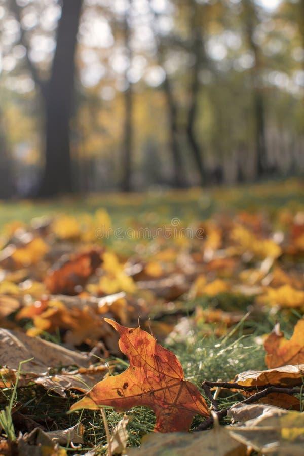 Ensamhetbegrepp - selektiv fokus för Autumn Fall Maple blad arkivfoton