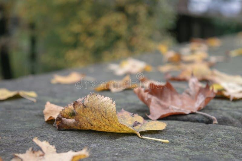 Ensamhetbegrepp - selektiv fokus för Autumn Fall Maple blad fotografering för bildbyråer