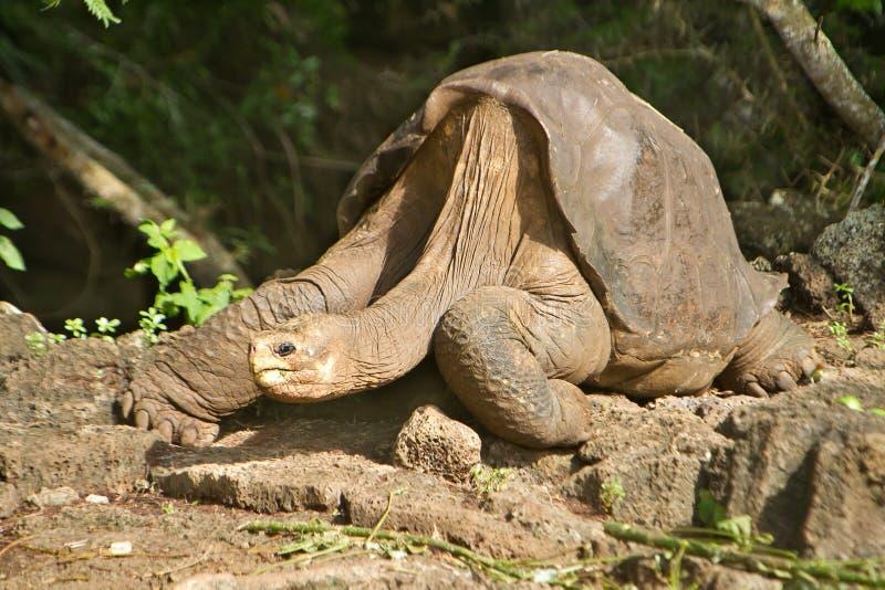 Ensamma George Galapagos arkivfoto