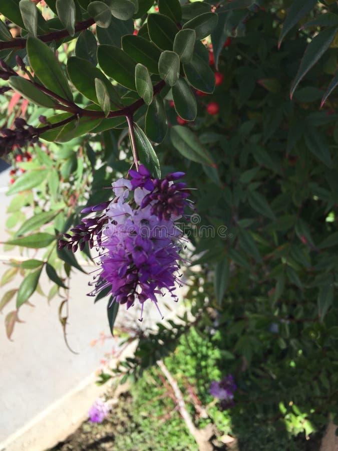 Ensamma lilor arkivfoton