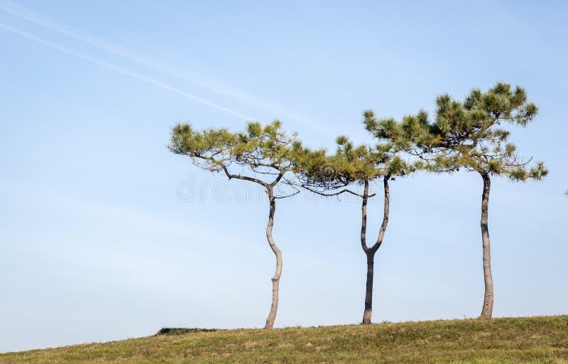 Ensamma trädsörja-träd på överkanten av en kulle i sommartid med en blå himmel arkivfoton