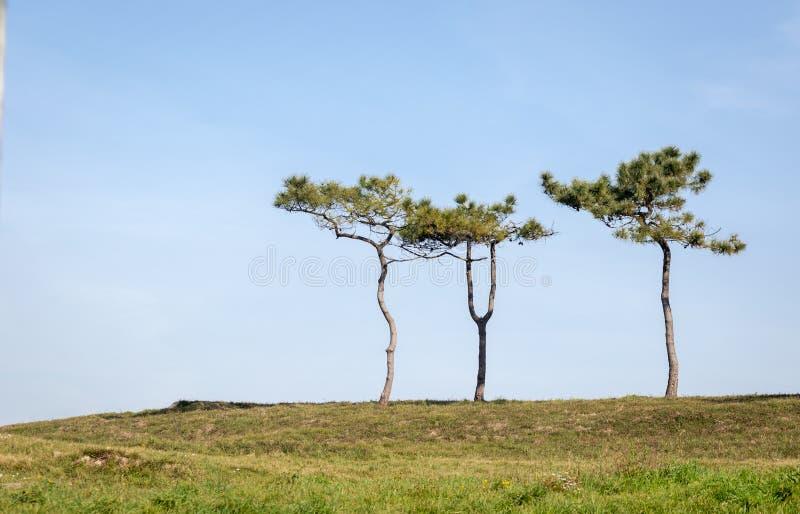 Ensamma trädsörja-träd på överkanten av en kulle i sommartid med en blå himmel royaltyfri foto
