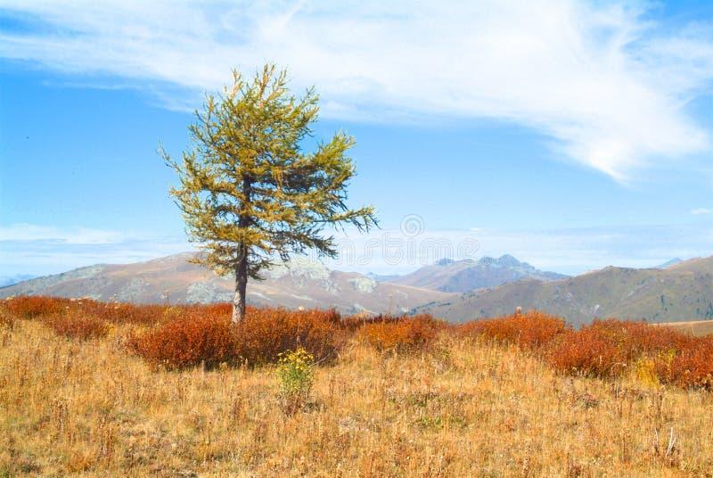 Ensamt alpint träd på en bakgrund av berg och blå himmel royaltyfria bilder