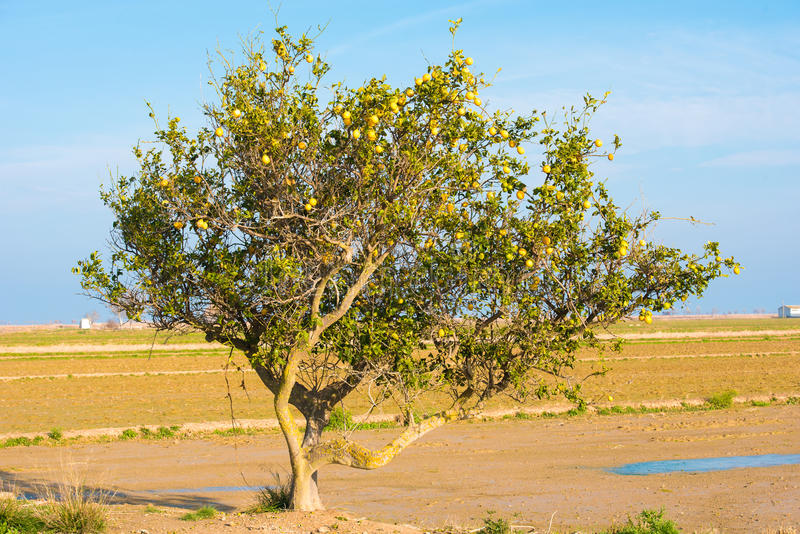 Ensamt citronträd i den Ebro deltan, Tarragona, Catalunya, Spanien arkivbilder