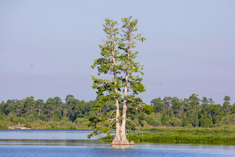 Ensamt cypressträd i en sjö fotografering för bildbyråer