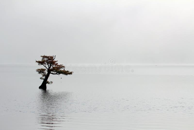 Ensamt cypressträd i Reelfoot sjön royaltyfri fotografi