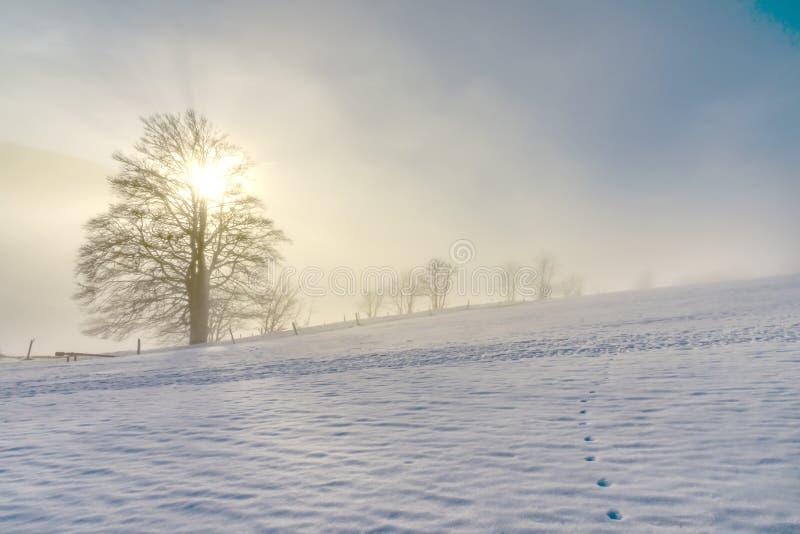 Ensamt gammalt träd i den djupfrysta vintern