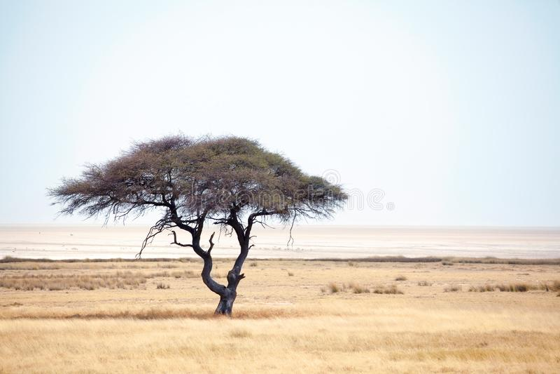 Ensamt grönt akaciaträd och tom väg på gult ökenfält och bakgrund för blå himmel i den Etosha nationalparken, Namibia royaltyfri bild