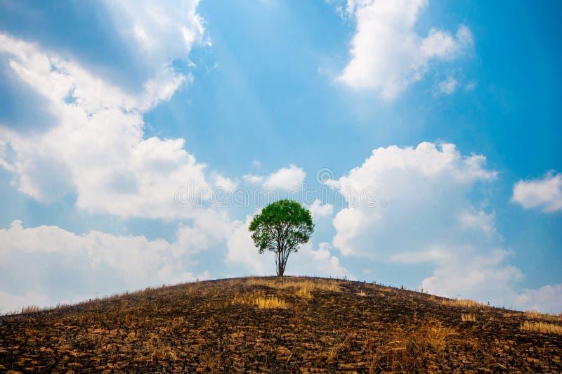 Ensamt grönt träd på den torra kullen. arkivbild