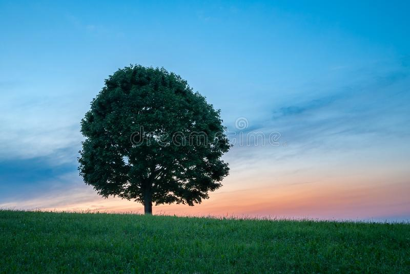 Ensamt grönt träd på gräs på den horisontalsolnedgången - royaltyfria bilder
