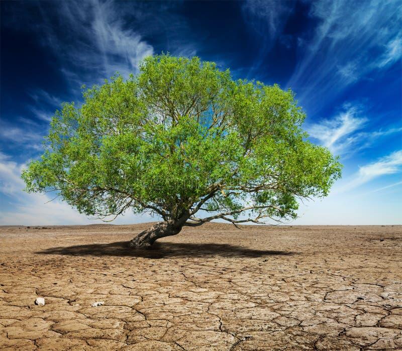 Ensamt grönt träd på sprucken jord royaltyfri fotografi