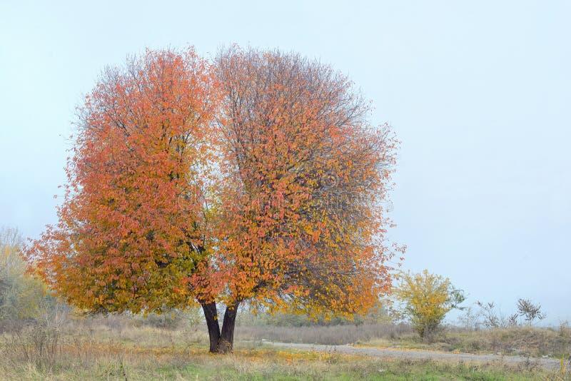 Ensamt körsbärsrött träd arkivfoto
