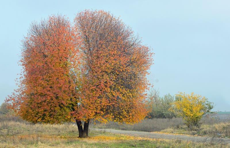 Ensamt körsbärsrött träd arkivbild