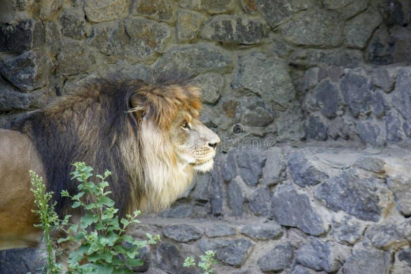 Ensamt kungligt lejon som proudly står närbild på grå stenbakgrund arkivbilder