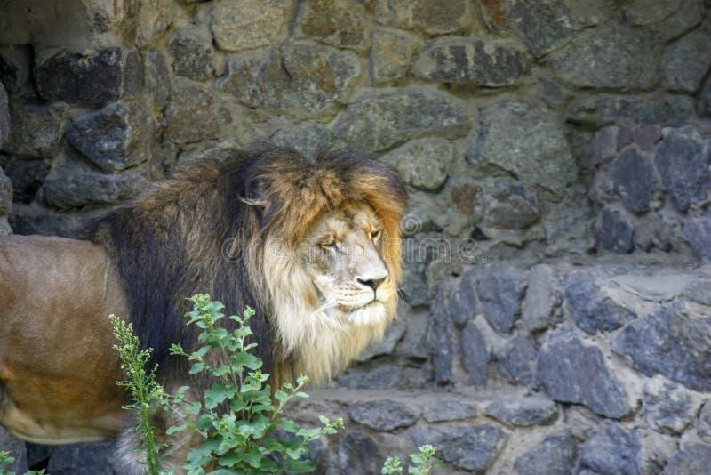 Ensamt kungligt lejon som proudly står närbild på grå stenbakgrund royaltyfri foto