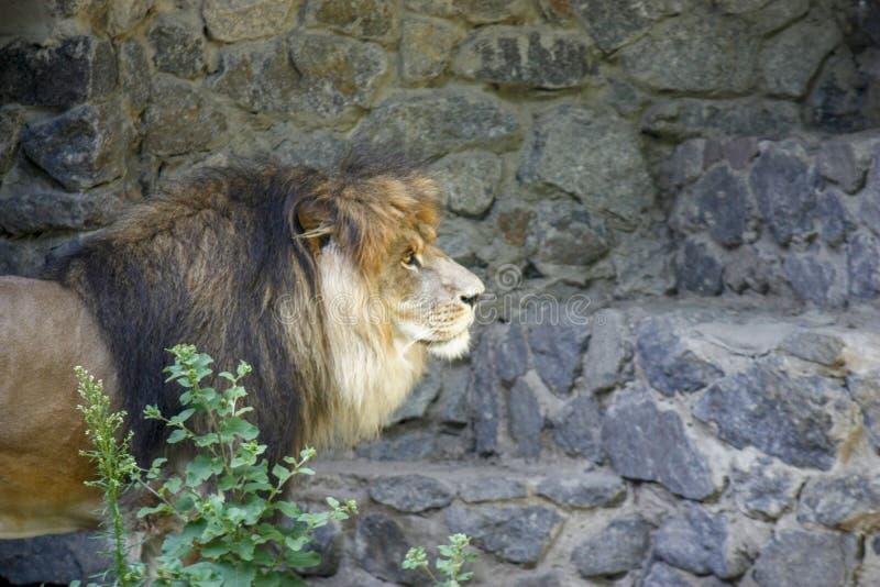 Ensamt kungligt lejon som proudly står närbild på grå stenbakgrund arkivfoto