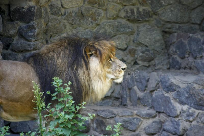 Ensamt kungligt lejon som proudly står närbild på grå stenbakgrund fotografering för bildbyråer