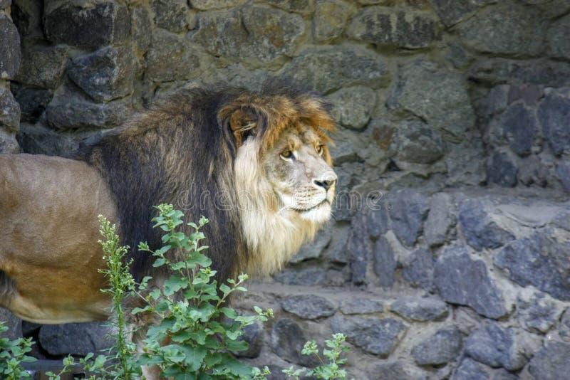 Ensamt kungligt lejon som proudly står närbild på grå stenbakgrund royaltyfria foton