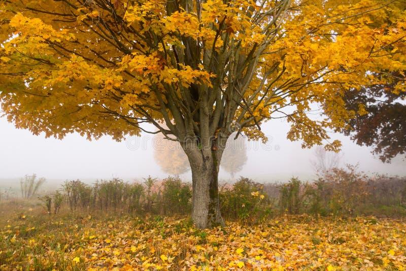 Ensamt lönnträd på en dimmig nedgångmorgon i Vermont, USA royaltyfri bild