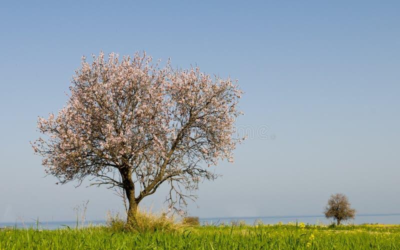 Ensamt mandelträd royaltyfria bilder
