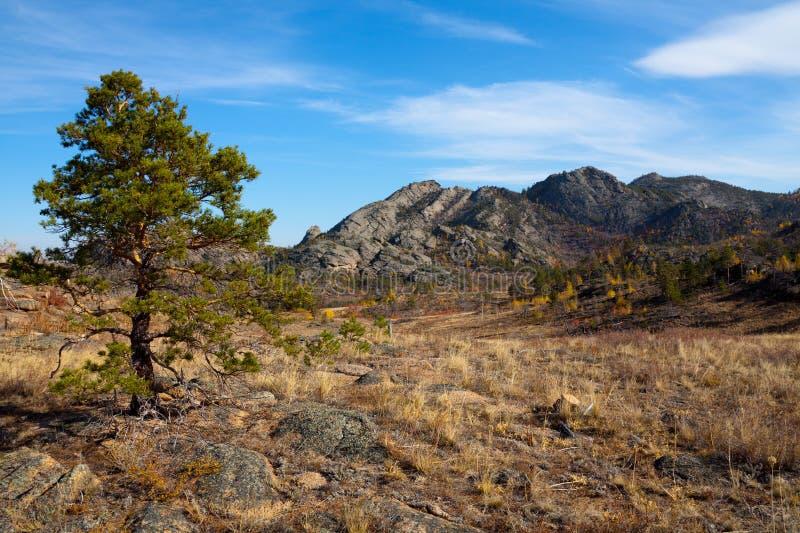 Ensamt sörja trädet i ökenbergen royaltyfri bild