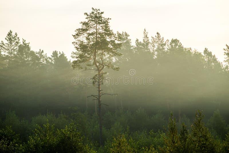 Ensamt sörja trädet i kalhuggit område royaltyfri foto