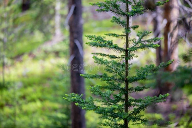 Ensamt sörja trädet som enkelt står i skogen av Rocky Mountain National Park royaltyfri bild
