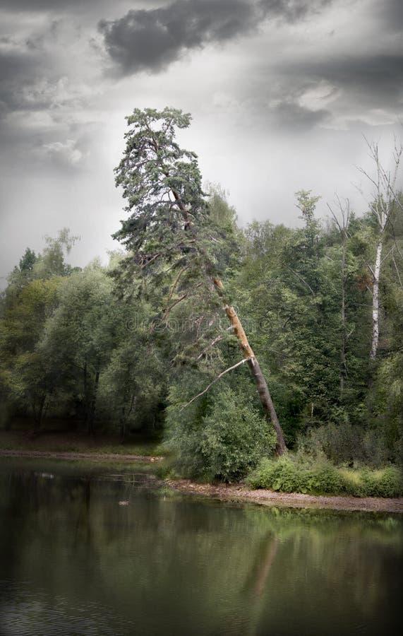 Ensamt sörja trädet som växer på kusten av sjön royaltyfri fotografi