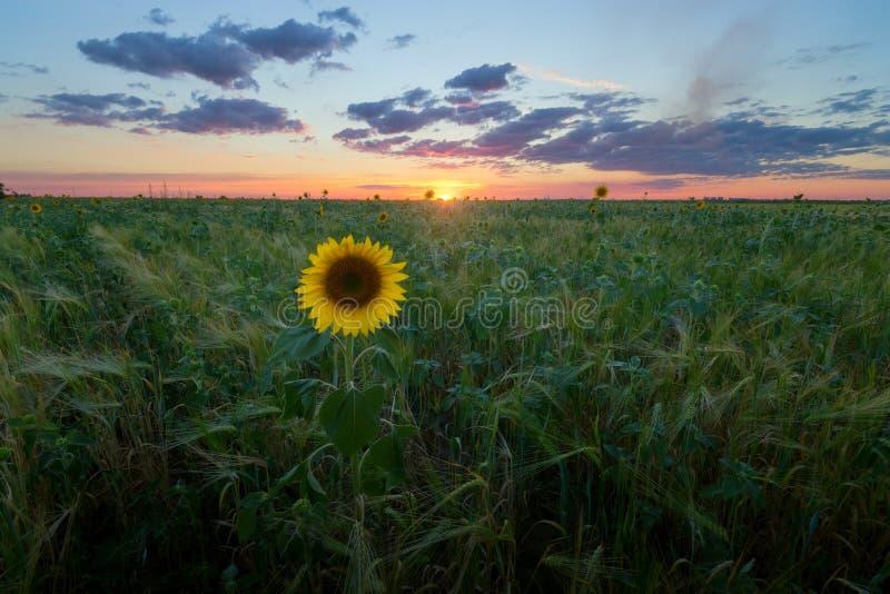 Ensamt solrossolnedgånglandskap arkivbild